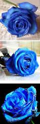 best 25 blue roses ideas on pinterest beautiful roses black