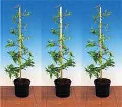 Support For Climbing Plants - climbing plants direct