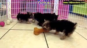 halloween city lansing michigan yorkshire terrier puppies for sale in lansing michigan mi