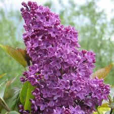 syringa vulgaris souvenir de louis spaeth purple lilac trees