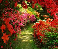 flowers nature red beutiful azalea garden flowers beautiful