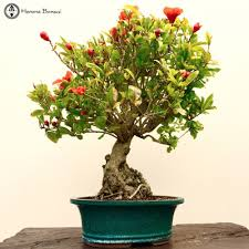 large pomegranate bonsai tree herons bonsai nursery