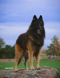 belgian sheepdog breeders europe belgian tervuren