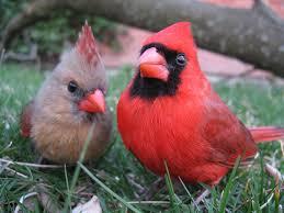 cardinal pair cardinals bird and animal