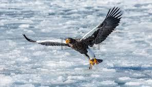 stellers sea eagle wallpapers steller s sea eagle stock photos royalty free steller s sea eagle