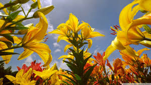 Yellow Lilies Yellow Lilies Uhd Desktop Wallpaper For Ultra Hd 4k 8k U2022 Mobile