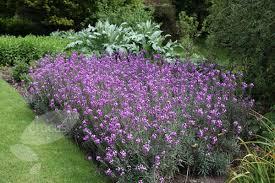 All Year Flowering Shrubs - erysimum u0027bowles mauve u0027 a fairly short lived shrub but it works
