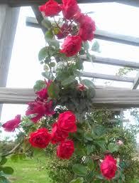 orange triumph climbing rose the art u0026 science of gardening