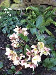 wheel shaped flower buds of stenocarpus sinuatus queensland greg bourke gregbourke3 twitter flowers trees and gardens