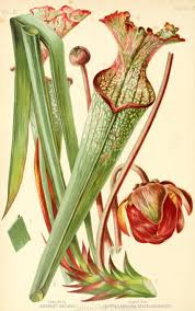 native victorian plants drummond u0027s pitcher plant in the native flowers and ferns of the