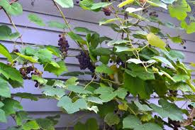 Planting Grapes In Backyard The Grape Vines Newlywoodwards