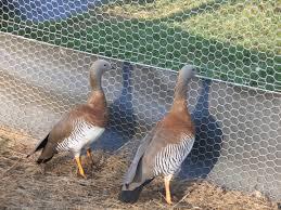 ornamental geese