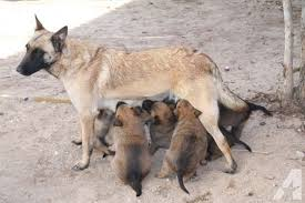 belgian sheepdog puppies for sale in california adorable belgian shepherd malinois puppies 2 months old for sale