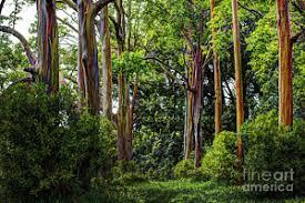Rainbow Eucalyptus Rainbow Eucalyptus Prints Fine Art America