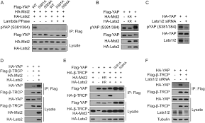 Yap Flag A Coordinated Phosphorylation By Lats And Ck1 Regulates Yap