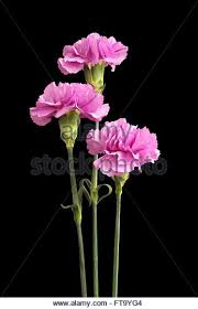 Purple Carnations Three Pink Carnations Stock Photos U0026 Three Pink Carnations Stock