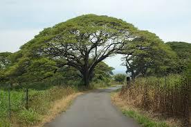 panoramio photo of wide tree top