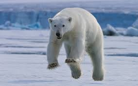 polar bear in mid leap on the island of spitsbergen svalbard i