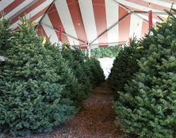 ventura county california christmas tree farms choose and cut