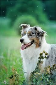 australian shepherd jogging 595 best w o o f images on pinterest animals dog and dogs