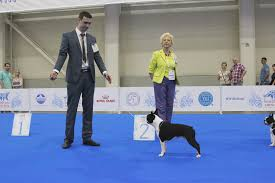 thanksgiving day dog show world dog show 2016 moscow boston terrier youtube