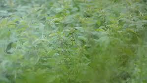 gynura pseudochina l dc trees ornamental plants and herbs