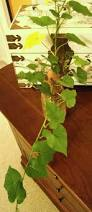 a tale of two sweet potato vines u2013 healthy growth inside and out