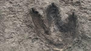 minnesota zoo dinosaur exhibit leaves big footprints