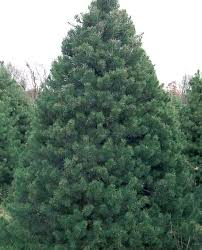 scotch pine christmas tree fresh cut christmas trees sw chicago suburbs kringle s tree factory