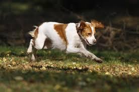 australian shepherd vs brittany the 15 best dog breeds for running livestrong com