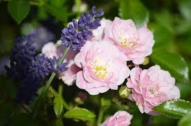 lavender roses free photo pink roses lavender roses free image on pixabay