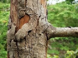 Types Of Plant Disease - cankers types u0026 management on tree barks