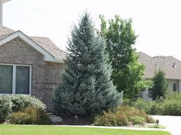 blue spruce spruce colorado bacheri blue thetreefarm