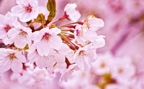 cherry blossom free ppt backgrounds for your powerpoint templates