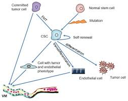 a new perspective of vasculogenic mimicry emt and cancer stem