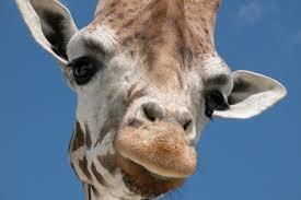 new giraffe species threatened with extinction
