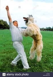 afghan hound dog images afghan hound dog jumping man stock photo royalty free image