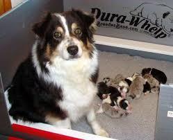3 week old australian shepherd puppy lakehills australian shepherds