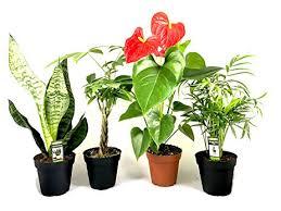 live indoor plants amazon com live indoor plants four pack assortment in 4 pots best