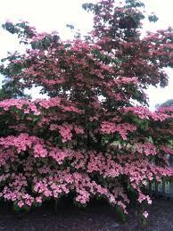 24 best favorite ornamental trees images on plants