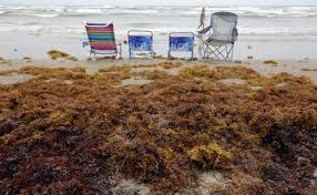 sargassum is ruining beaches from texas to tobago