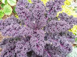 learning to grow ornamental kale a colorful fall plant