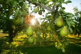different types of pear trees hunker