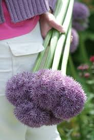 allium and purple ornamental