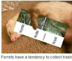 Ferret Meme - the best ferret memes memedroid