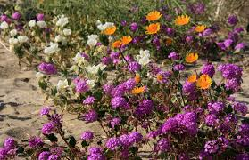 borrego springs desert wildflowers san diego travel blog