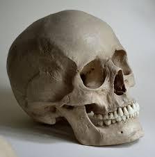Human Jaw Bone Anatomy The 25 Best Skull Reference Ideas On Pinterest Skull Mask