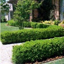 ornamental hedging