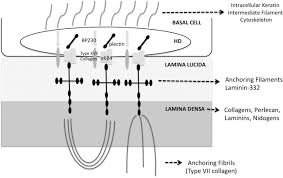 the corneal epithelial basement membrane structure function and