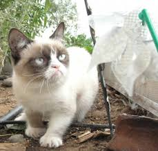 Tard The Grumpy Cat Meme - the instant cat meme grumpy cat mental floss